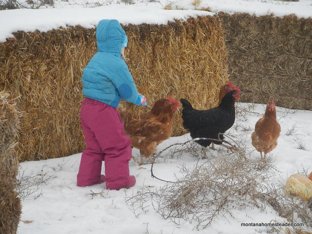 toddler feeding chickens | Montana Homesteader