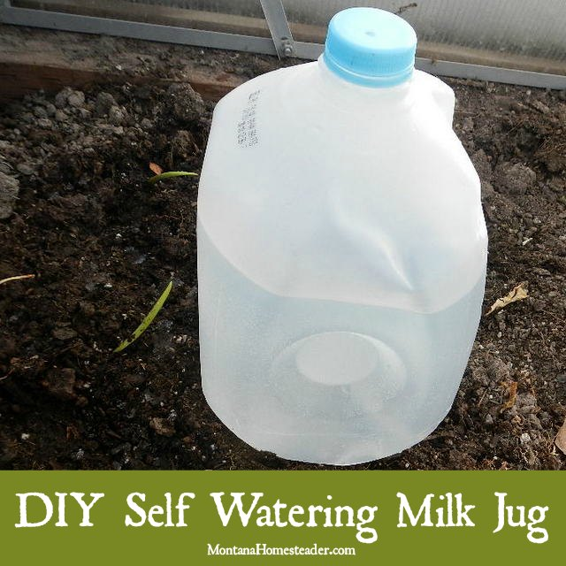 DIY self watering milk jug for deep watering in garden or greenhouse | Montana Homesteader