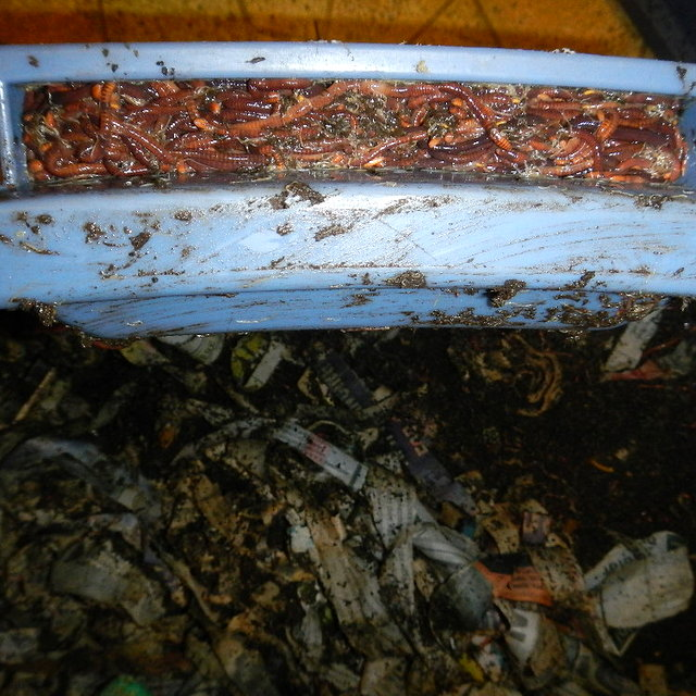 Find out why worms escape from a worm bin and how to fix it | Montana Homesteader