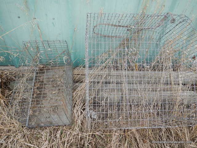 Using wire cages to transport chickens | Montana Homesteader
