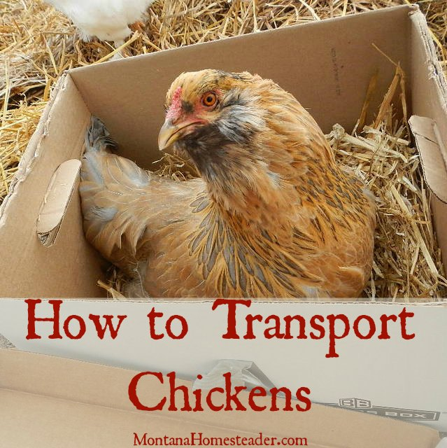 How to transport chickens in a car |  Montana Homesteader
