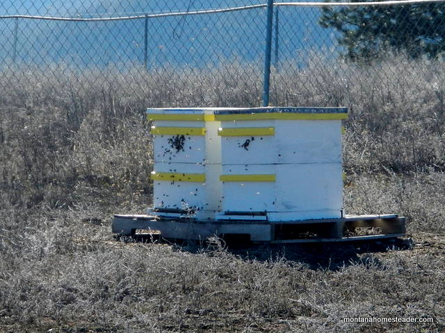 honey bee hives that made it through the winter and are alive and well | Montana Homesteader