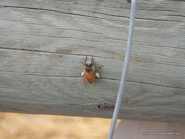 Honey bee with pollen on its legs in the spring | Montana Homesteader