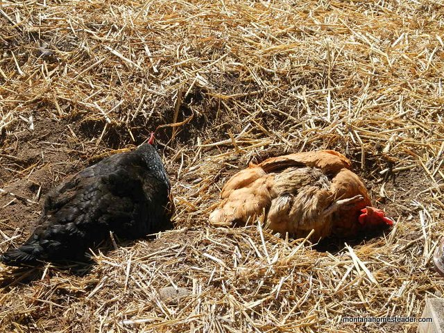 Picture of chickens taking dust baths |Montana Homesteader