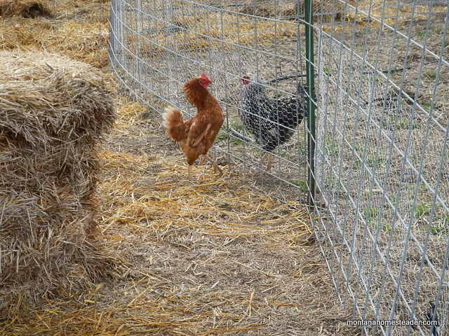 two dominant chickens facing off to fight for dominance | Montana Homesteader