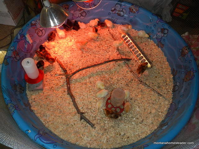 Using a swimming pool as a cheap and easy chick brooder | Montana Homesteader