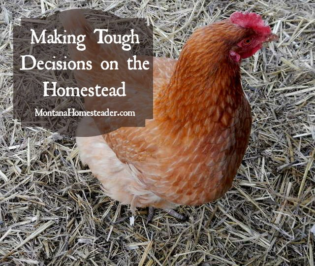 Making Tough Decisions on the Homesteader | Montana Homesteader