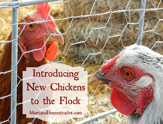 Tips for introducing new chickens to the flock | Montana Homesteader