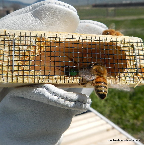 Queen honey bee in a queen cage in a new package of honey bees | Montana Homesteader