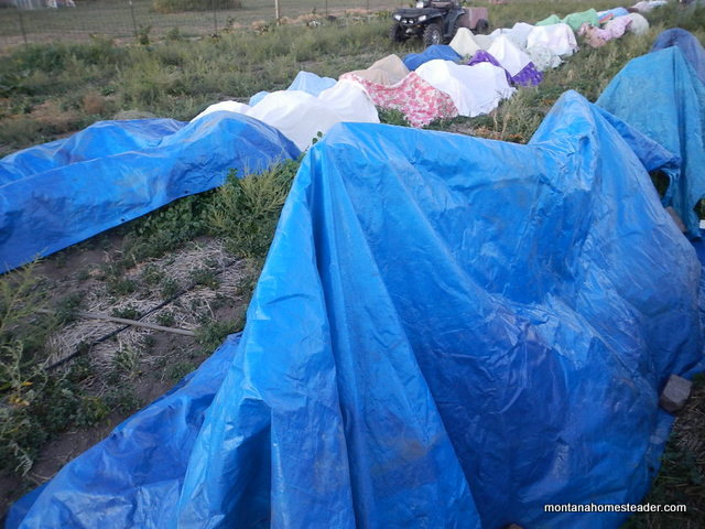using old blankets, tarps and sheets as a cheap row cover to protect plants from frost in the garden | Montana Homesteader