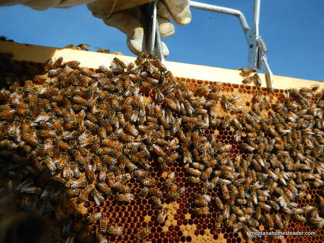 a nuc of honey bees is more productive in a short warm season compared to a package of bees | Montana Homesteader