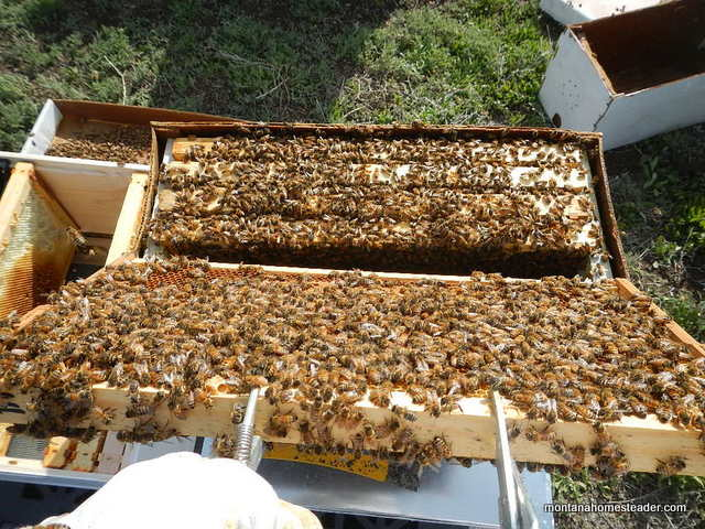 Inside a nuc of honey bees  and hiving them in a Langstroth bee box | Montana Homesteader