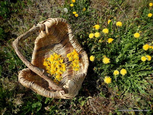 foraging and harvesting dandelions for dandelion tea, dandelion jelly and dandelion syrup | Montana Homesteader