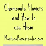 Chamomile Flowers and How to Use Them