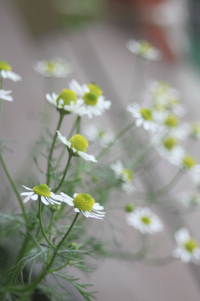Chamomile Flowers and how to dry and use them in homemade herbal products | Montana Homesteader