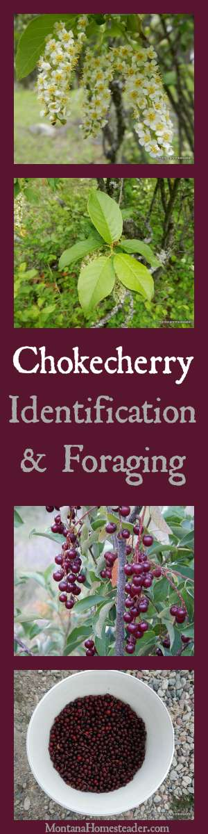 Chokecherry Identification & Foraging wild edibles and how to use chokecherries | Montana Homesteader