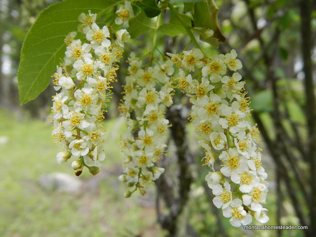 Chokecherry flower clusters and how to identify and forage chokecherry | Montana Homesteader