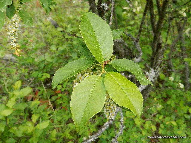 Picture of chokecherry leaves to help identify a wild edible plant to forage and make jelly  | Montana Homestaeder
