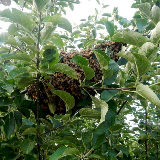A swarm of honey bees on a tree branch and how we captured a honey bee swarm | Montana Homesteader