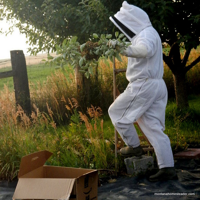 How we captured a honey bee swarm in a tree   Montana Homesteader