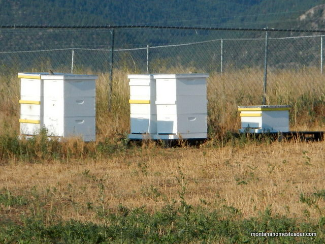 Capturing a honey bee swarm and putting it in a new bee hive   Montana Homesteader
