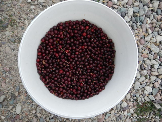 Identifying and foraging chokecherry to make chokecherry jelly | Montana Homesteader
