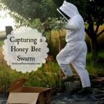 Capturing a Honey Bee Swarm