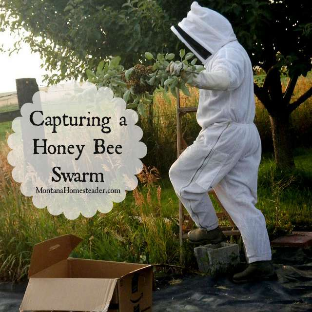 How to capture a honey bee swarm |  Montana Homesteader