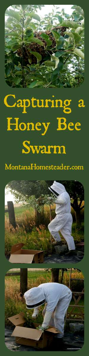 How to capture a honey bee swarm in a tree | Montana Homesteader