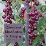 Chokecherry Identification & Foraging