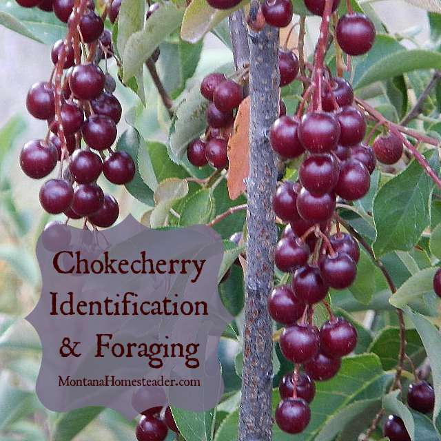 Identifying and foraging for chokecherries |  Montana Homesteader