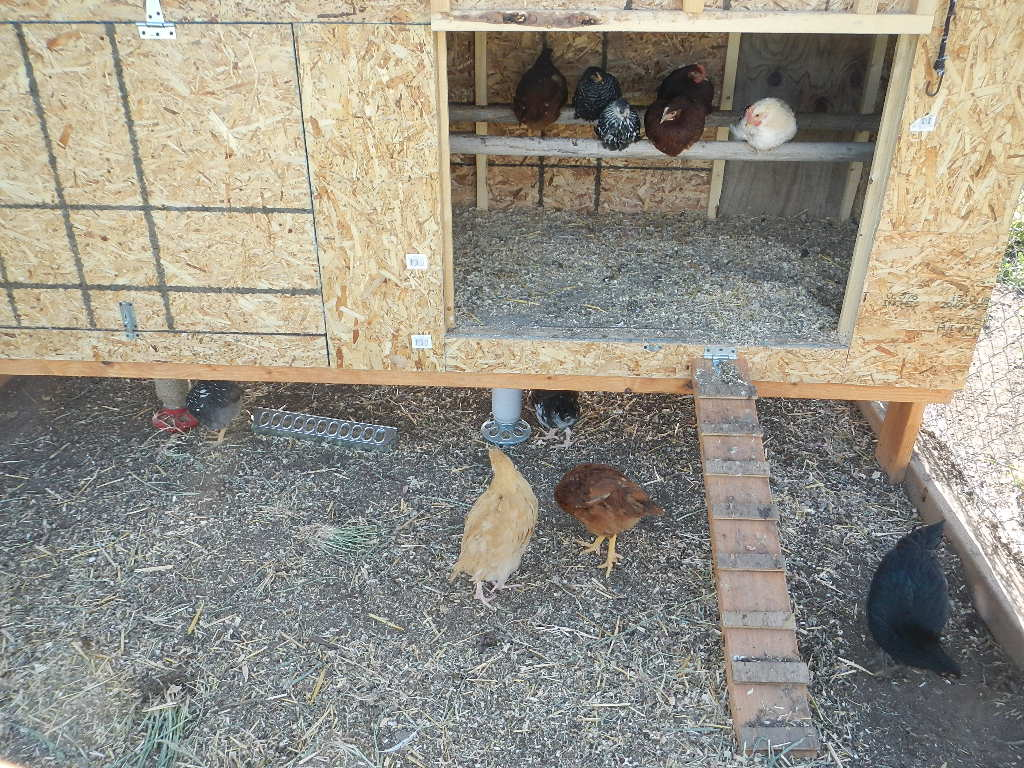 young chickens in a grow out pen and coop built inside a metal dog kennel