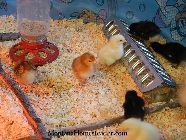 Different types of feeders to use in a chick brooder | Montana Homesteader