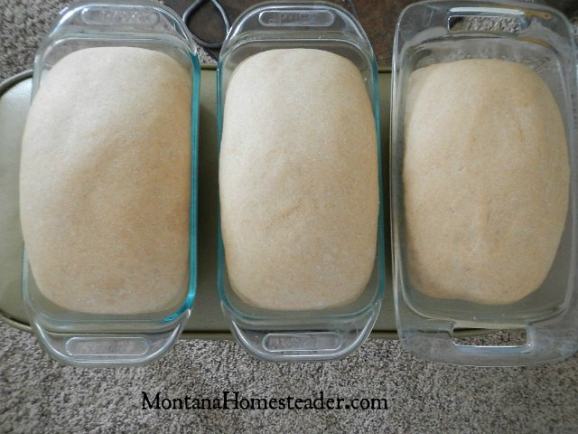 Easy honey wheat bread recipe makes 2 or 3 large loaves | Montana Homesteader