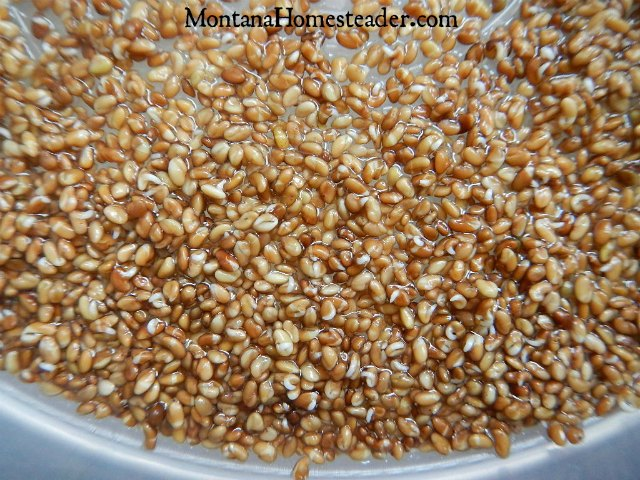 How to grow sprouts at home for fresh greens all winter long Montana Homesteader