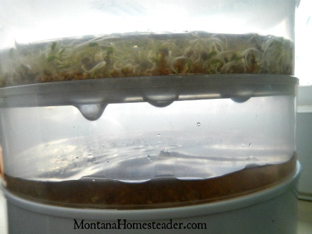 How to grow sprouts at home with a spout seeder Montana Homesteader