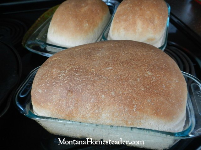 How to make honey whole wheat bread that is soft and rises well | Montana Homesteader