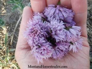 DIY chive infused vinegar for homemade salad dressing | Montana Homesteader