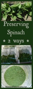 Preserving spinach 2 ways by freezing and dehydrating   Montana Homesteader