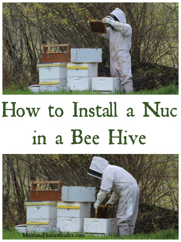 How to install a nuc in a bee hive Montana Homesteader
