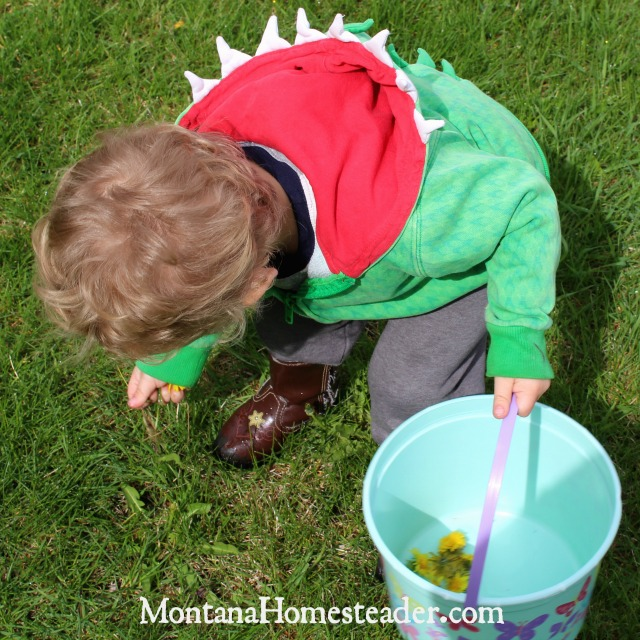 toddler harvesting dandelions to eat in dandelion muffins