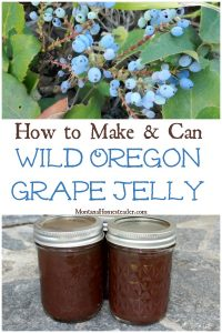 Oregon Grapes ripe on the wild plant and jars of homemade Oregon Grape jelly
